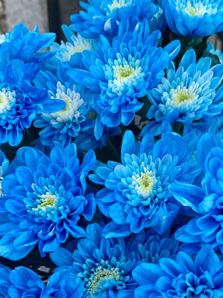 ブルーのスプレーマム 染色した菊