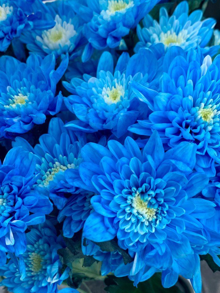 ブルーのスプレーマム 染めた菊