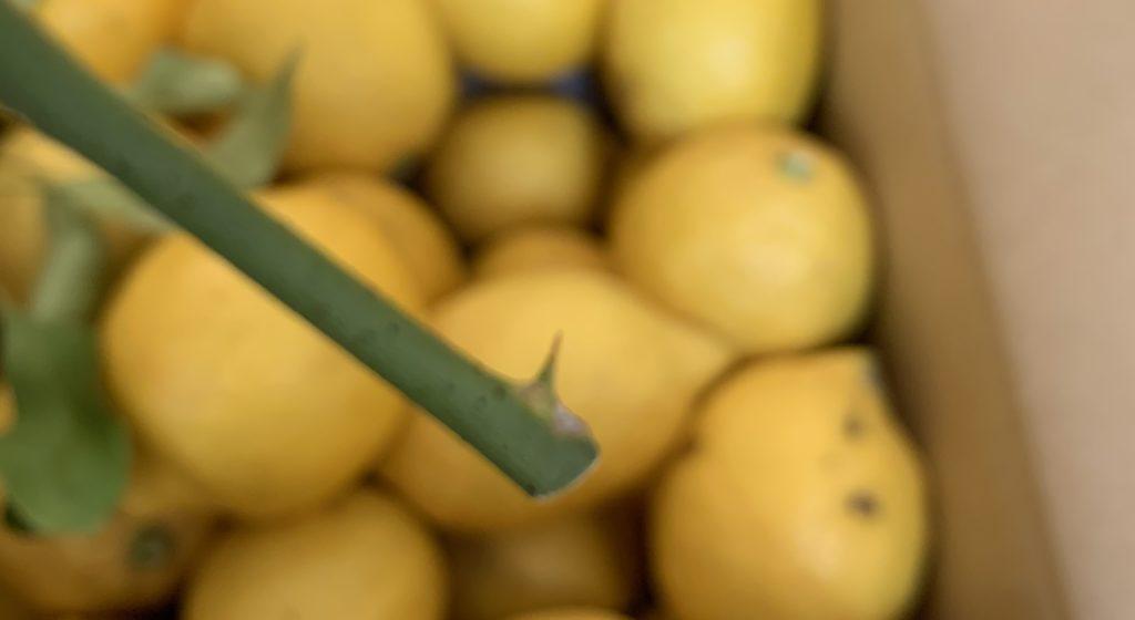 レモンの枝のトゲ