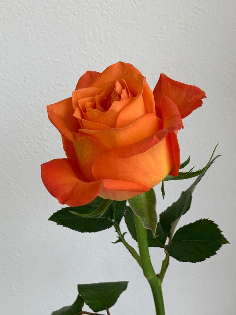 オレンジ バラ