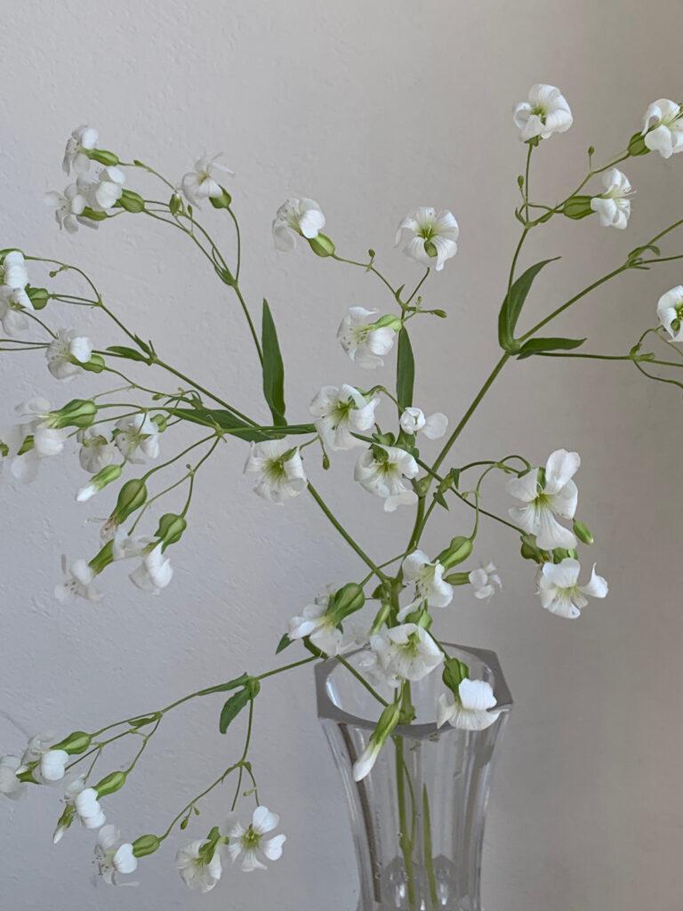 サポナリア バッカムホワイト